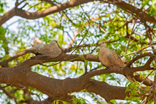 A Couple Of Laughing Dove Sitt...