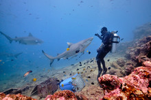 Scuba Divers Hand Feeding Bull Shark And Silver Tip Reef Sharks On Deep Dive In Fiji