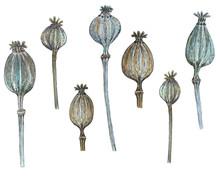 Dry Poppy Seed Heads, Watercol...
