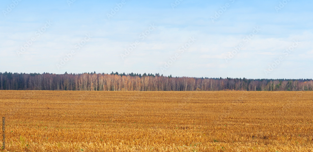 Fototapeta Panorama bright autumn landscape with corn stubble field. Harvested, beautiful countryside view. Rural meadow, forest edges, blue sky. Scenery view