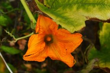 There Are Yellow Flowers Of Pumpkin And Grass