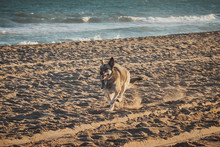 Dog Runing In A Beach At The A...
