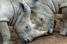 Two Rhinos - An Adult And A Young Male Locking Horns As The Young One Asserts Its Power.