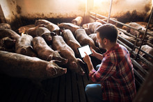 Farmer Using Tablet In Pig Pen...