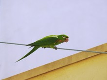Close-up Of A Cute Green Parakeet Perched On A Steel Cable On A Sunny Day