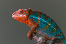Panther Chameleon Body Profile Standing On Branch