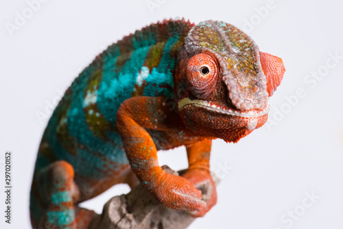 Poster de jardin Cameleon Panther Chameleon standing on branch looking at camera