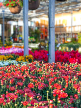 Rows Of Red Colorful Flowers And Plants For Sale At A Garden Nursery Center And Green House.