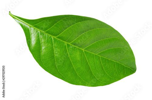 Gardenia leaf on white background - 297029130