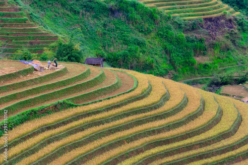 Wall Murals Rice fields Terraced rice field in harvest season in Mu Cang Chai, Vietnam.