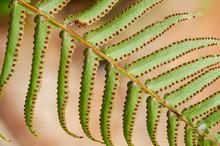 Underside Of Ostrich Fern Leaflets