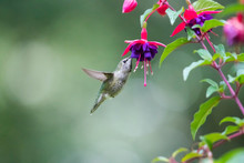 Calliope Hummingbird Feeds On ...
