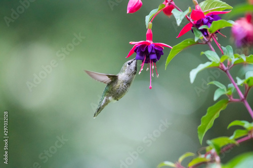 Fotografia Calliope hummingbird feeds on the nectar of fuchsia flowers