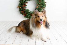 Beautiful Brown Sheltie Dog With Blue Eyes In A Studio On White Wood Floor With Christmas Wreath Background