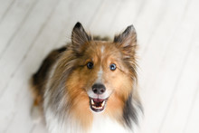 Beautiful Brown Sheltie Dog Wi...
