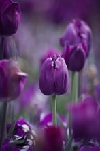 Purple Tulips In The Garden