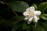 Gardenia flower in full bloom dark background