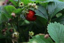 Wild Strawberry On A Bush