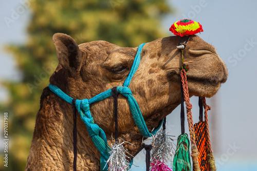 Photo  Camel Fair in India