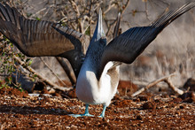 Blue-footed Booby, Galapagos Island