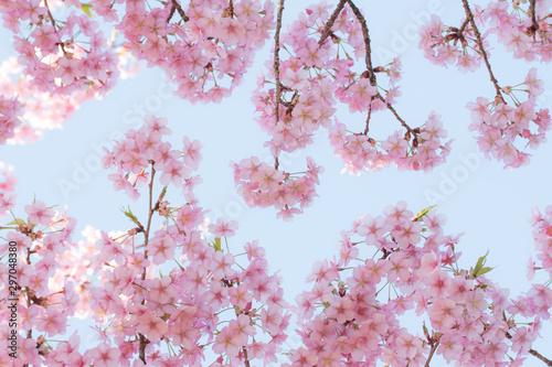 Fotografie, Obraz  可愛い桜の背景