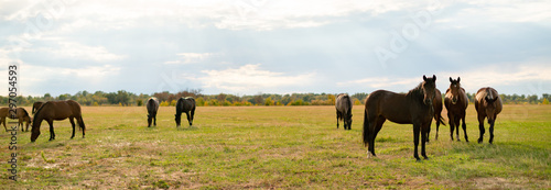 Fototapeta panorama view of some horses in the field on summer day, domestic animals concept obraz
