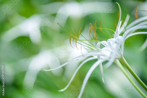 Foto auf Leinwand Garten White Crinum Lily bloom in the garden