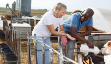 Female And Male Farmers  Feeding Young Cattle From Bottle At  Cow Farm