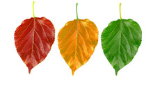 Three Color Of Leaves Isolated...