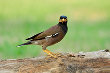 Common Or Indian Myna (Acridot...