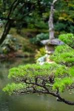 Branch Of Pine Tree Over The W...