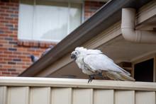 Sulphur-crested Cockatoo Suffe...