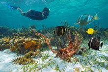 Caribbean Sea Underwater Coral Reef With Colorful Marine Life And A Man Snorkeling