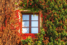 Building Wall And Window Beautifully Overgrown With Creepers, Autumn Colors And Flowers
