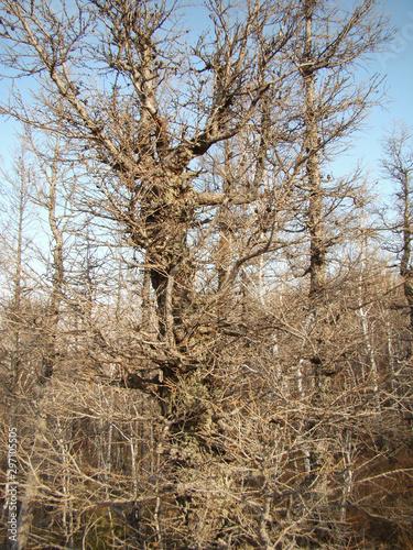 Dry branchy tree Tapéta, Fotótapéta