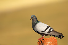 Feral Pigeons (Columba Livia Domestica), Also Called City Doves, City Pigeons, Or Street Pigeons Sitting Sitting On Old Village Roof.
