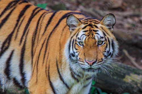 Fototapeta Tiger portrait of a bengal tiger in Thailand on a black background