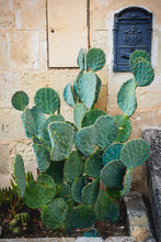 Green Prickly Pear Cactus Plant With A Blue Vintage Letter Box On A Stone Masonry Wall. Portrait Format.