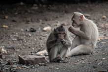 Two Baby Monkeys (Crab-eating ...