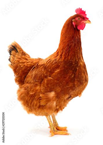 Fotobehang Kip Brown hen isolated.