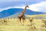Fototapeta Sawanna - Adult giraffe in the African savannah, Ngorongoro National Park, Tanzania. A beautiful day of photographic safari in Africa. Wild tourism