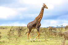 Adult Giraffe In The African Savannah, Ngorongoro National Park, Tanzania. A Nice Day Of Photographic Safari In Africa. Wild Tourism