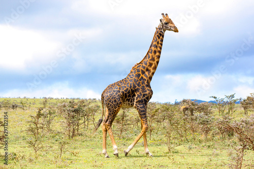 Adult giraffe in the African savannah, Ngorongoro National Park, Tanzania Wallpaper Mural