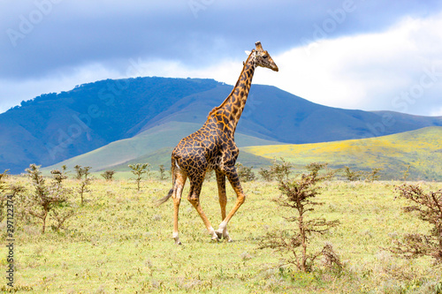 Adult giraffe in the African savannah, Ngorongoro National Park, Tanzania Canvas Print