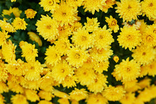 Flower Bed Of Yellow Chrysanthemums, Background For Postcard Or Calendar. Walking In Park And Enjoying Beautiful Autumn Nature. Hello, Autumn! Congratulatory Autumn Postcard