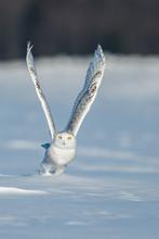 Snowy Owl In Flight, Quebec, Canada