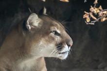Portrait Of A Mountain Lion, Q...