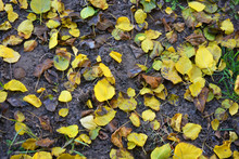 Autumn Background With Fallen ...