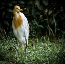 Portrait Of A Cattle Egret, Ma...