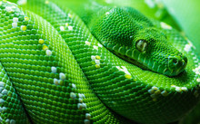 Close Up Of Green Tree Python